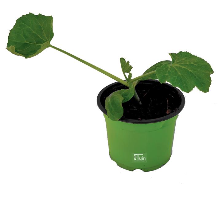 Courgette plant Black Beauty