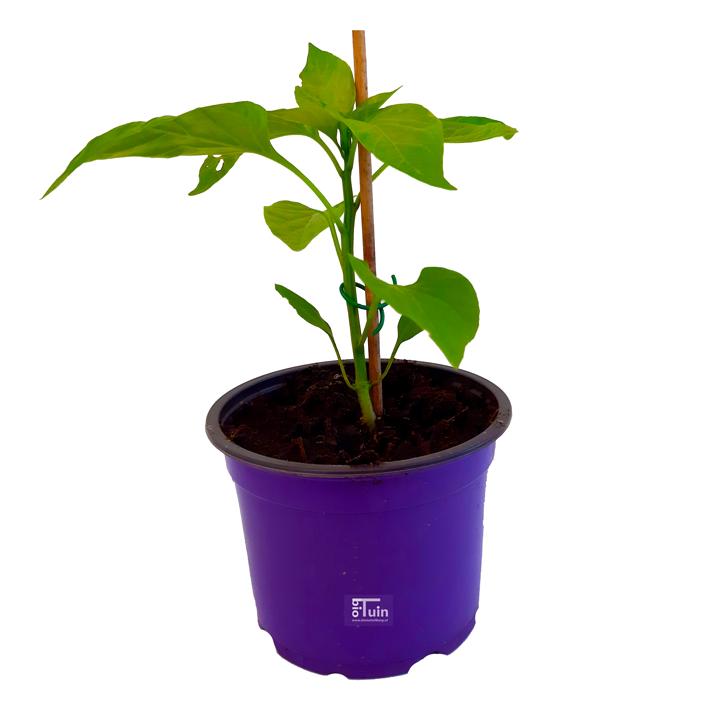 Paprika (punt) plant Corno di Toro Rosso