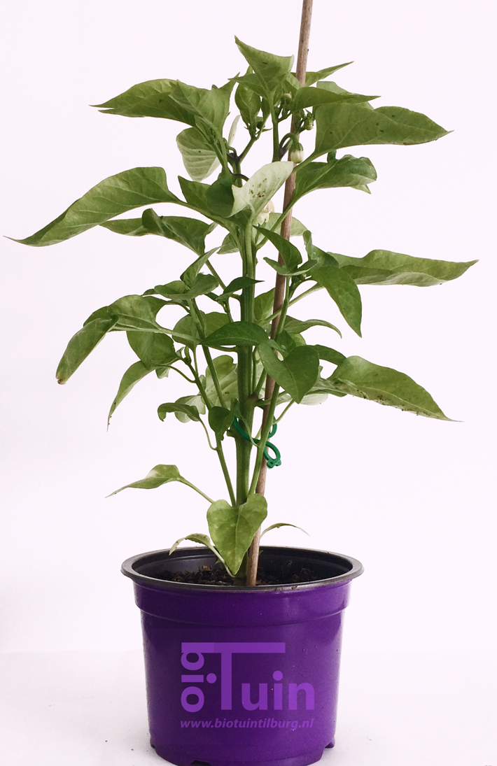 Paprika plant Rood Snack