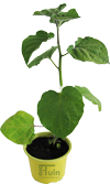 Kaapse Goudbes/ Ananaskers plant