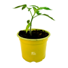 Tomaten plant Roma VF (kas en buitenteelt)