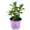Marokkaanse Munt plant