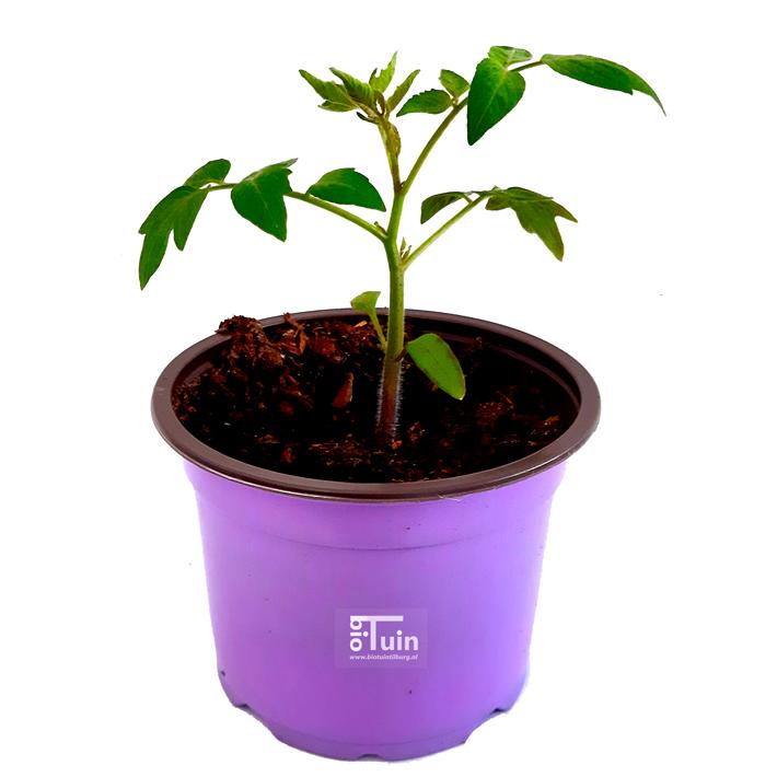 Tomaten plant Roma Snack (kasteelt)