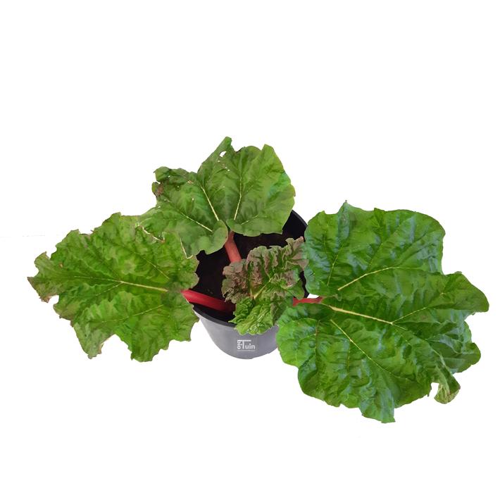 Rabarber plant