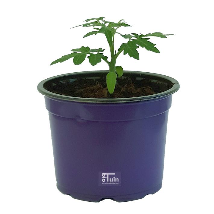 Tomaten plant Minibel (kas-buiten)