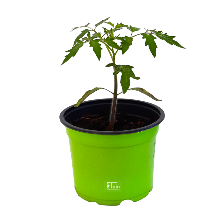 Tomaten plant Yellow Pear (kasteelt)